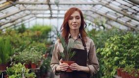 Retrato del jardinero pelirrojo atractivo de la mujer en el delantal que coloca el invernadero grande interior y que sostiene la  metrajes