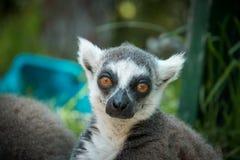 Retrato del lémur fotografía de archivo