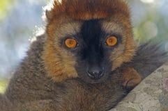 Retrato del lémur de Brown Fotos de archivo libres de regalías
