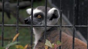 Retrato del lémur detrás de la jaula en el parque zoológico, 4k metrajes
