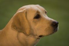 Retrato del labrador retriever Foto de archivo libre de regalías