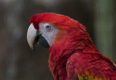 Retrato del lado del Macaw del escarlata Imagen de archivo libre de regalías