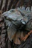 Retrato del lagarto Fotos de archivo libres de regalías