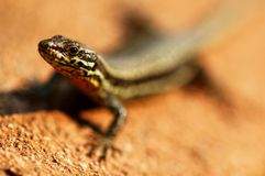 Retrato del lagarto Foto de archivo