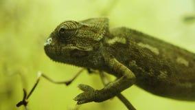 Retrato del lagarto del camaleón, cierre encima del reptil almacen de video