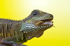 Retrato del lagarto de dragón hermoso de agua Fotografía de archivo