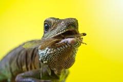 Retrato del lagarto de dragón hermoso de agua Foto de archivo
