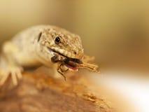 Retrato del lagarto ocellated que come el escarabajo - lepidus de Timon fotos de archivo
