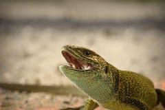 Retrato del lagarto verde enojado Fotografía de archivo