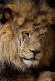 Retrato del león imagen de archivo