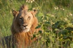 Retrato del león imágenes de archivo libres de regalías