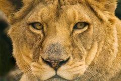 Retrato del león Imagenes de archivo