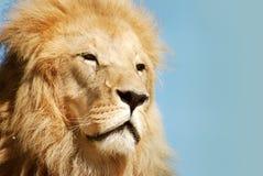 Retrato del león fotos de archivo