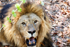 Retrato del león con la boca abierta que empuja los dientes grandes Fotos de archivo