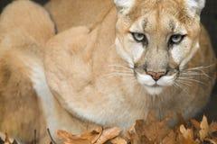 Retrato del león de montaña (concolor del puma) Fotos de archivo