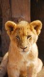 Retrato del león del bebé Imagen de archivo