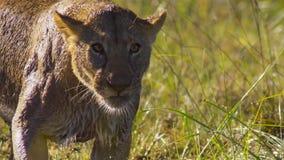 Retrato del león en el prado de Okavango del delta de Okavango, Botswana, África al sudoeste fotos de archivo