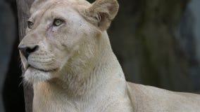Retrato del león femenino metrajes