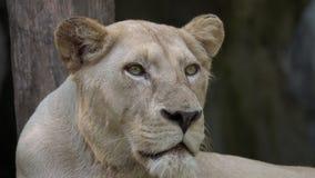 Retrato del león femenino almacen de metraje de vídeo
