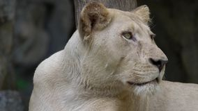 Retrato del león femenino almacen de video