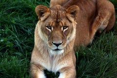 Retrato del león hermoso Fotografía de archivo