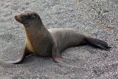 Retrato del león marino (las Islas Galápagos, Ecuador) Foto de archivo