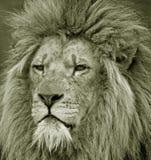 Retrato del león masculino prisionero Fotos de archivo