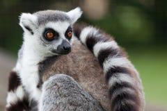 Retrato del Lemur Fotos de archivo