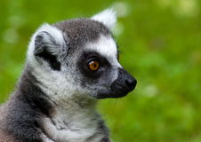 Retrato del Lemur Imagenes de archivo