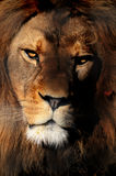 Retrato del león de Barbary Fotografía de archivo