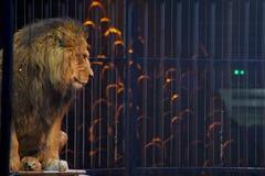 Retrato del león del circo en una jaula Imagen de archivo libre de regalías
