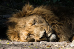 Retrato del león el dormir Fotografía de archivo libre de regalías