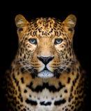 Retrato del leopardo Imagenes de archivo