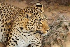 Retrato del leopardo foto de archivo libre de regalías