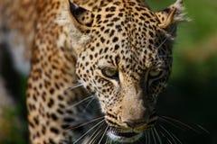 Retrato del leopardo Bahati en Masai Mara, Kenia Fotografía de archivo libre de regalías