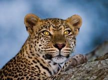 Retrato del leopardo Primer Parque nacional kenia tanzania Maasai Mara serengeti Fotografía de archivo libre de regalías