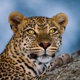 Retrato del leopardo Primer Parque nacional kenia tanzania Maasai Mara serengeti Fotos de archivo libres de regalías