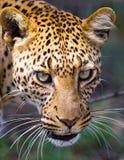 Retrato del leopardo Primer Parque nacional kenia tanzania Maasai Mara serengeti Imagenes de archivo