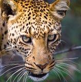 Retrato del leopardo Primer Parque nacional kenia tanzania Maasai Mara serengeti Imagen de archivo libre de regalías