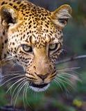 Retrato del leopardo Primer Parque nacional kenia tanzania Maasai Mara serengeti Foto de archivo libre de regalías