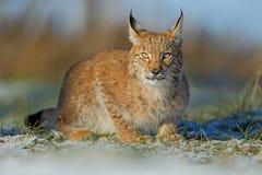 Retrato del lince eurasiático del gato en nieve en invierno Imágenes de archivo libres de regalías