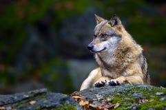 Retrato del lobo   Fotos de archivo