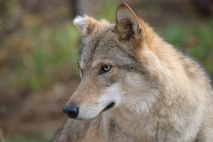 Retrato del lobo Fotografía de archivo