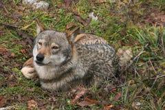 Retrato del lobo gris con la expresión divertida Fotografía de archivo