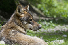 Retrato del lobo joven Fotografía de archivo