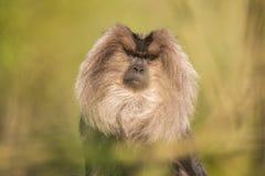 Retrato del Macaque León-atado, silenus del Macaca, mono del bosque tropical foto de archivo libre de regalías