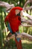 Retrato del macaw Fotos de archivo