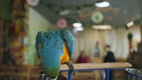 Retrato del Macaw colorido del loro que se sienta en la rama de árbol en el zoo-granja almacen de video