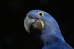 Retrato del Macaw del jacinto Fotos de archivo libres de regalías