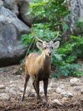 Retrato del macho adulto de los ciervos comunes Imagen de archivo libre de regalías